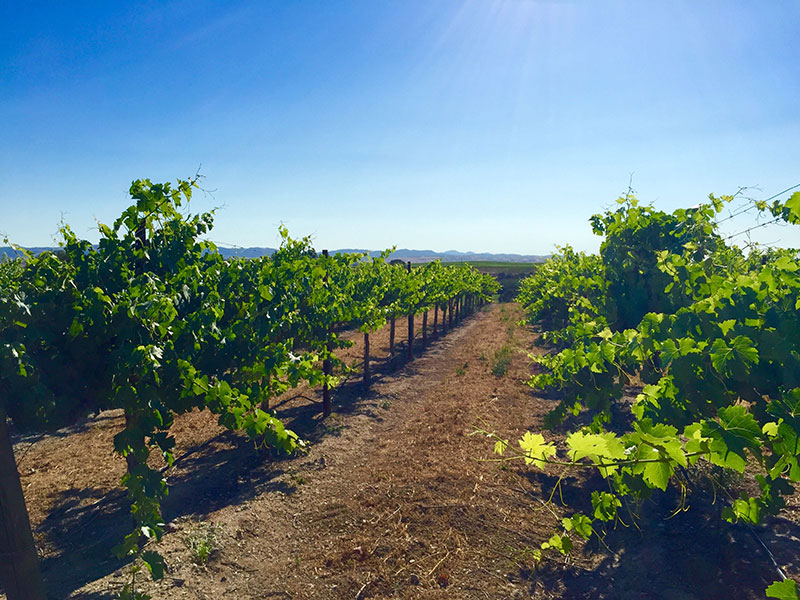 Four Sisters Vineyard
